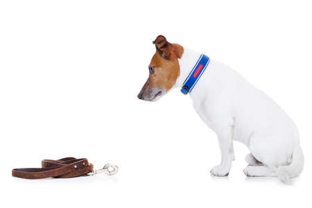 go for: jack russell dog waiting to go for a walk with owner with leather leash