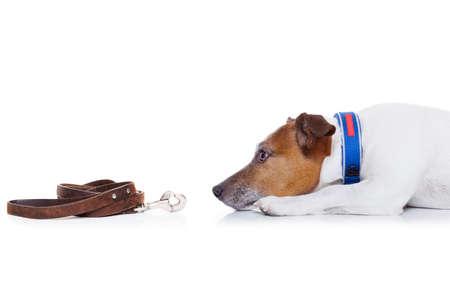perros graciosos: jack russell perro esperando para ir a dar un paseo con el dueño con correa de cuero Foto de archivo