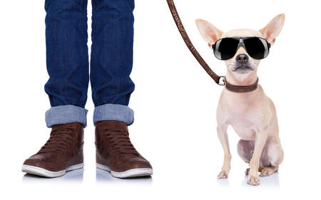 obediencia: chihuahua perro esperando para ir a dar un paseo con el due�o con correa de cuero Foto de archivo