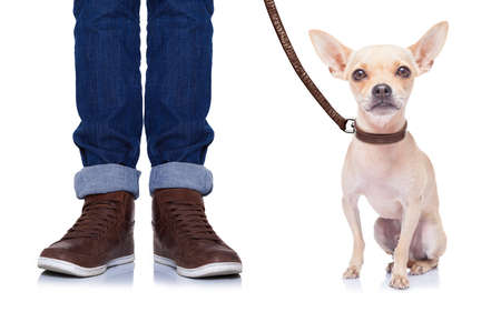 chihuahua dog waiting to go for a walk with owner with leather leash