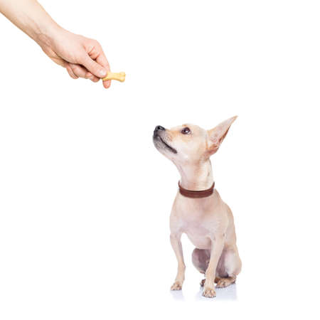 animal behavior: chihuahua dog getting a cookie as a treat for good behavior