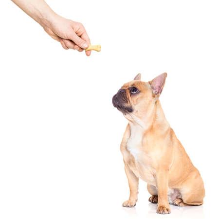 behavior: fawn bulldog dog getting a cookie as a treat for good behavior