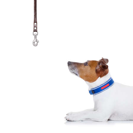 leash: jack russell dog waiting to go for a walk with owner with leather leash