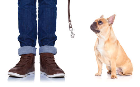 go for: fawn bulldog dog and owner ready to go for a walk, or dog being punished  for a bad behavior