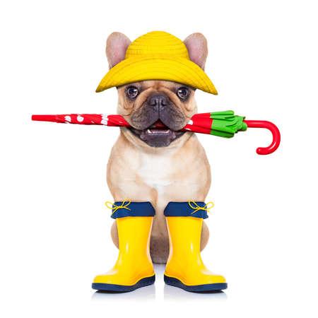 chien: bouledogue fran�ais fauve assis et attendent d'aller faire une promenade avec le propri�taire, pr�par� pour la pluie et la salet�, portant des bottes de pluie, un parapluie � la bouche