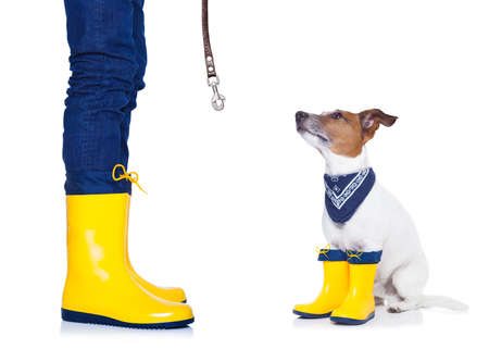 love in rain: jack russell dog sitting , begging and waiting to go for a walk with owner , prepared for rain and dirt, wearing rain boots Stock Photo