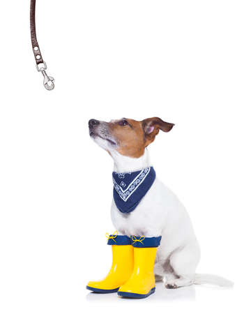autumn rain: jack russell dog sitting , begging and waiting to go for a walk with owner , prepared for rain and dirt, wearing rain boots Stock Photo