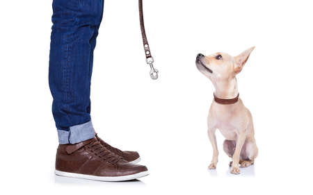 go for: chihuahua dog waiting to go for a walk with owner with leather leash