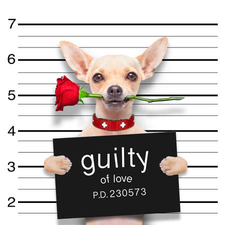 guilty: valentines chihuahua dog with rose in mouth as a mugshot guilty for love