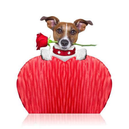 valentines dog: valentines  dog holding a  red rose with mouth ,isolated on white background