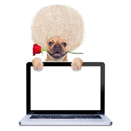 fiestas electronicas: valentines perro bulldog franc�s con la rosa en la boca detr�s de la pantalla del ordenador PC port�til, aislado en fondo blanco Foto de archivo