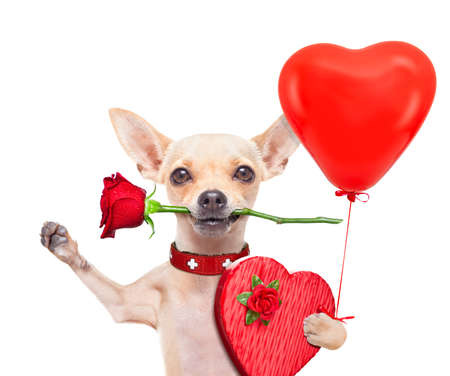 valentines gift: valentines chihuahua dog holding a rose with mouth and a present box , isolated on white background Stock Photo