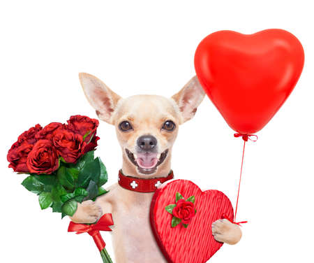 valentines chihuahua dog holding a present box and a bunch of roses , isolated on white background Stock Photo