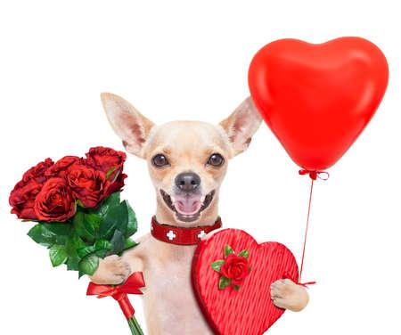 dog days: valentines perro chihuahua que sostiene una caja de regalo y un ramo de rosas, aislado en fondo blanco Foto de archivo