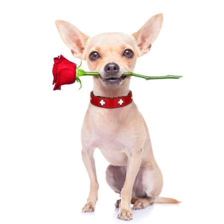 funny love: valentines chihuahua dog holding a rose with mouth , isolated on white background