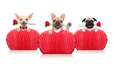 Valentines groep honden met een rode roos met de mond, geïsoleerd op een witte achtergrond Stockfoto