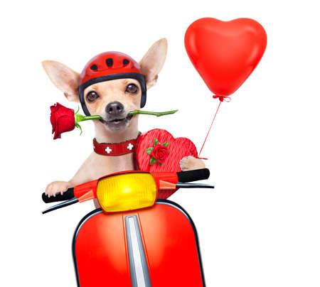 vespa piaggio: cane chihuahua San Valentino con la rosa in bocca alla guida di un rullo di vespa moto