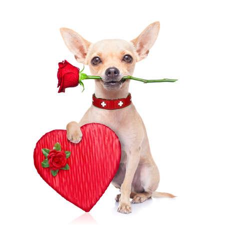 cane chihuahua: San Valentino cane chihuahua con una rosa con la bocca e una casella attuale, isolato su sfondo bianco Archivio Fotografico