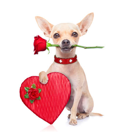 chihuahua: valentines chihuahua dog holding a rose with mouth and a present box , isolated on white background Stock Photo