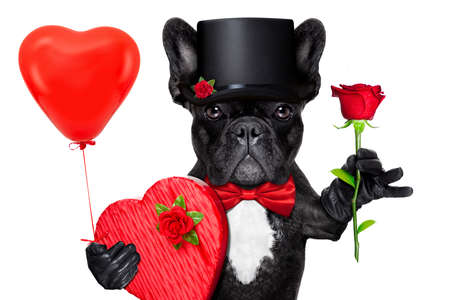 valentines french bulldog dog holding a present box , a balloon and  a  red rose , isolated on white background Archivio Fotografico
