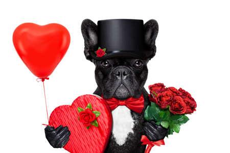 Valentim cão buldogue francês, segurando um presente de pralinés, buquê de rosas vermelhas e um balão, isolado no fundo branco
