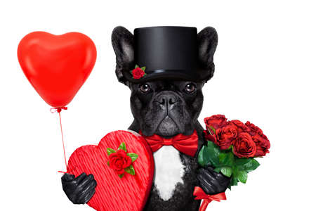 anniversary card: valentines french bulldog dog , holding a present of pralines , bunch of red roses and a balloon, isolated on white background