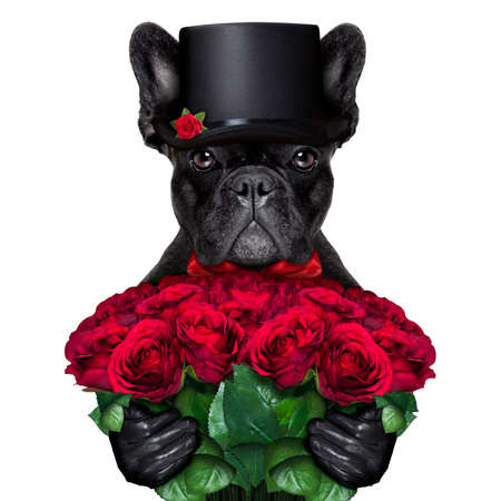 valentines gift: valentines french bulldog dog , holding bunch of red roses , isolated on white background Stock Photo