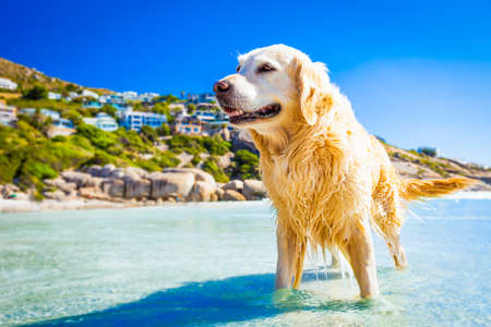 dog run: golden retriever dog in the water at the beach, relaxing and enjoying the sun, in south africa