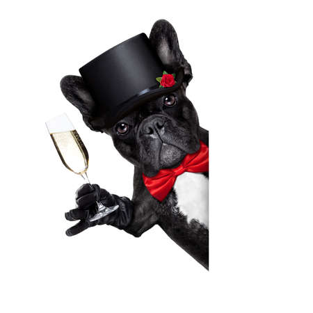 animal lover: valentines french bulldog dog holding a glass of champagne, besides a white and blank banner ,giving a toast speech,  isolated on white background