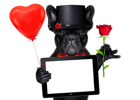funny birthday: valentines french bulldog dog holding a red rose with one hand , a computer laptop tablet pc  and a red balloon with the other, isolated on white background Stock Photo