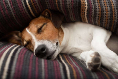 siesta: jack russell terrier dog under the blanket or sheets in bed , having a siesta and relaxing or sleeping