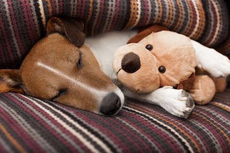 jack russell terrier perro debajo de la manta en la cama, tener una siesta y relajarse con el mejor amigo del oso de peluche Foto de archivo