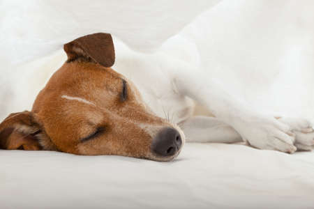 overslept: jack russell terrier dog under the blanket or sheets in bed , having a siesta and relaxing