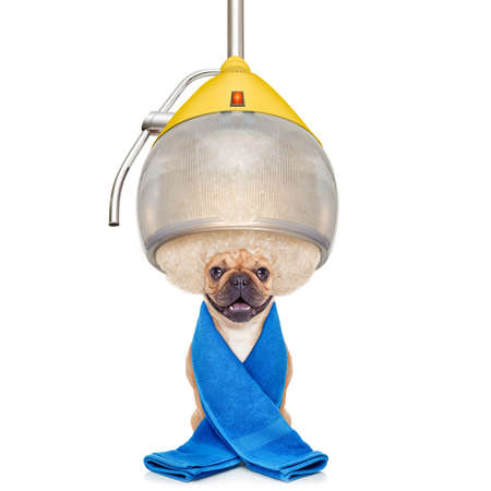 barber salon: french bulldog dog  at the hairdresser with hair under the drying hood , isolated on white background Stock Photo