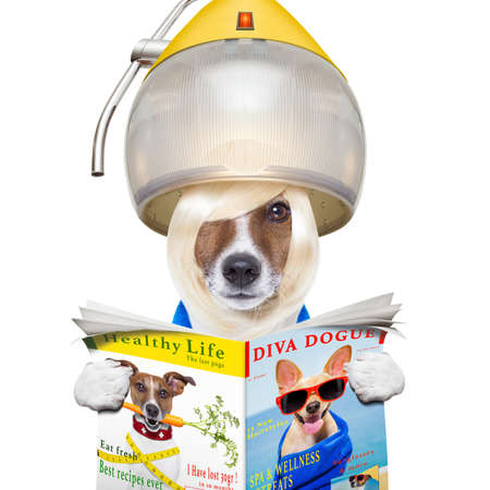 jack russell terrier dog reading the gossip magazine , with hair under the drying hood ,isolated on white background photo
