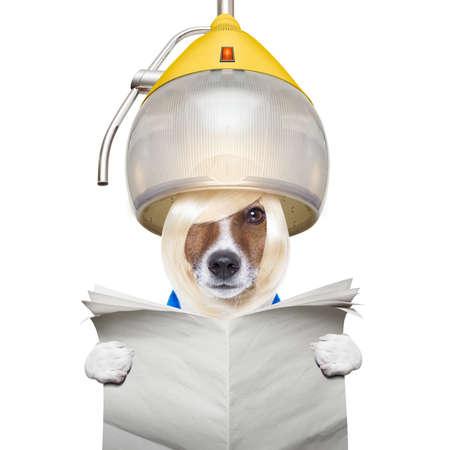 tinte cabello: perro jack russell en el peluquero o un peluquero, bajo el capó de secado, la lectura de un periódico en blanco, aislado en fondo blanco Foto de archivo