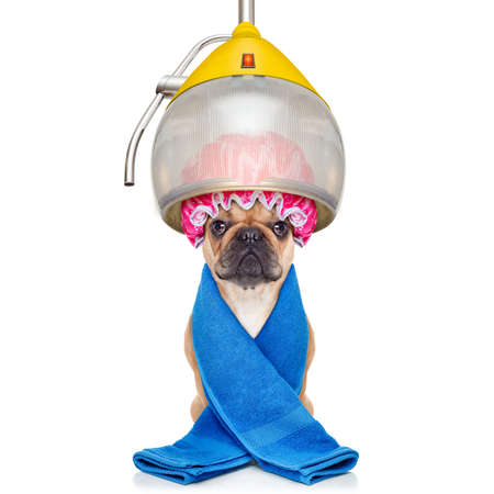 groomer: french bulldog dog  under the hood dryer , drying hair with a shower cap, isolated on white background