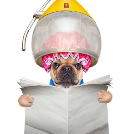 french bulldog dog  under the hood dryer , drying hair ,reading a blank newspaper or magazine, isolated on white background photo