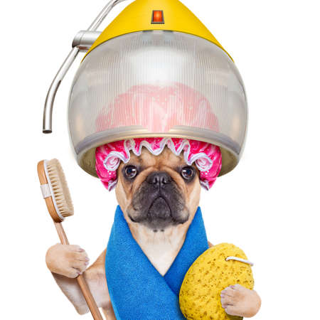 hairdresser scissors: french bulldog dog  under the hood dryer with sponge, shower cap, and brush, ready for a makeover , isolated on white background