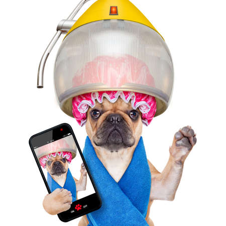 dryer: french bulldog dog  under hood dryer , drying hair ,taking a selfie and sharing  the new hairstyle , isolated on white background