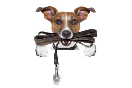 obedient: jack russell terrier dog waiting to go for a walk with owner, leather leash in mouth, isolated on white background