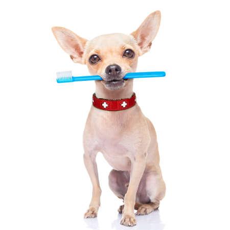 aseo: perro chihuahua que sostiene un cepillo de dientes con la boca, aislado en fondo blanco