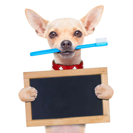 čivava pes drží kartáček na zuby v ústech drží prázdné banner nebo plakát, izolovaných na bílém pozadí