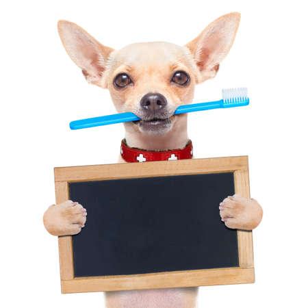aislado: perro chihuahua que sostiene un cepillo de dientes con la boca, con un cartel en blanco o pancarta, aislados en fondo blanco Foto de archivo
