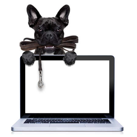 obedient: french bulldog dog   waiting to go for a walk with owner, leather leash in mouth, behind pc computer screen , isolated on white background