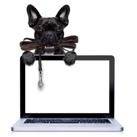obediencia: perro francés bulldog esperando para ir a dar un paseo con el dueño, correa de cuero en la boca, detrás de la pantalla del ordenador PC, aislado en fondo blanco