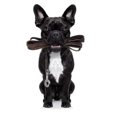 french bulldog dog   waiting to go for a walk with owner, leather leash in mouth,  isolated on white background Standard-Bild