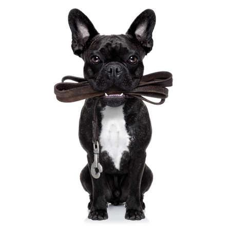 jugar: perro bulldog francés espera de ir a dar un paseo con el dueño, correa de cuero en la boca, aislado en fondo blanco Foto de archivo