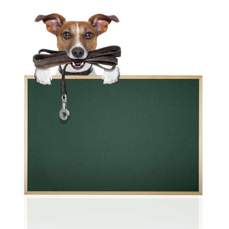 jack russell terrier dog waiting to go for a walk with owner, leather leash in mouth, isolated on white background photo