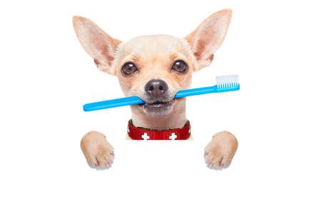 chihuahua hond met een tandenborstel met de mond achter lege banner of aanplakbiljet, geïsoleerd op een witte achtergrond